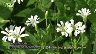 Wood stitchwort - Stellaria nemorum - Bosmuur