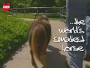 Thumbelina, World's Smallest Horse