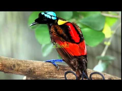 [Suara Burung Juara] Surga Cendrawasih Botak Cicinnurus