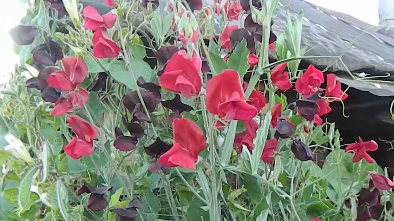 Выращивание душистого горошка в открытом грунте 62