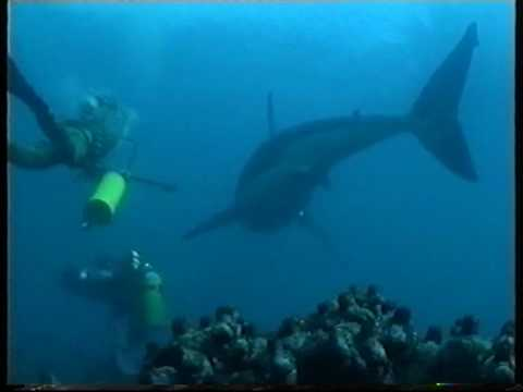 Free Diving with Great White Sharks Filmed for the First time