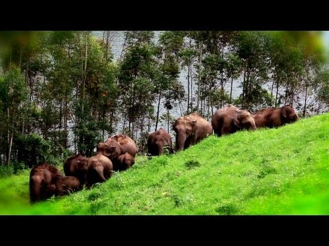 Elephant Herd at Mattupetty, Idukki