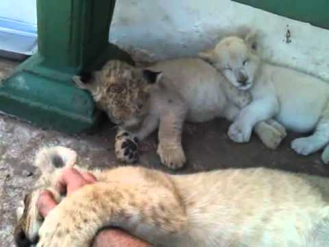 How to make a lion cub go sleep