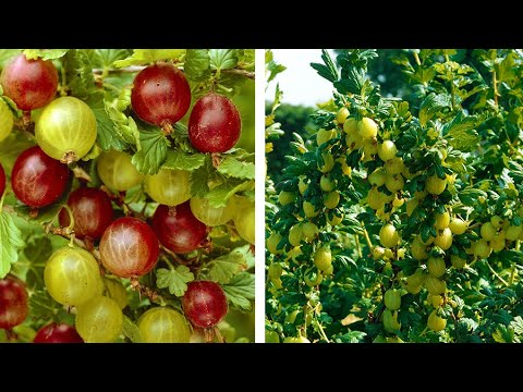 How to grow your own Gooseberries: Jeff Turner plants a Gooseberry bush