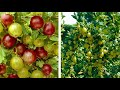 How to grow your own Gooseberries: Jeff Turner pla…