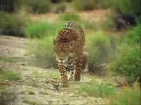 Jaguar Vs. Coati