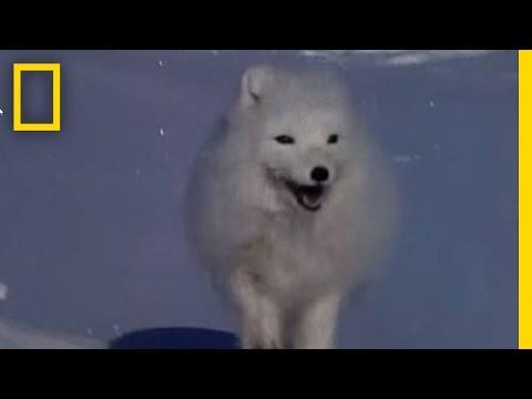 Arctic Fox Raids Polar Bear Kill