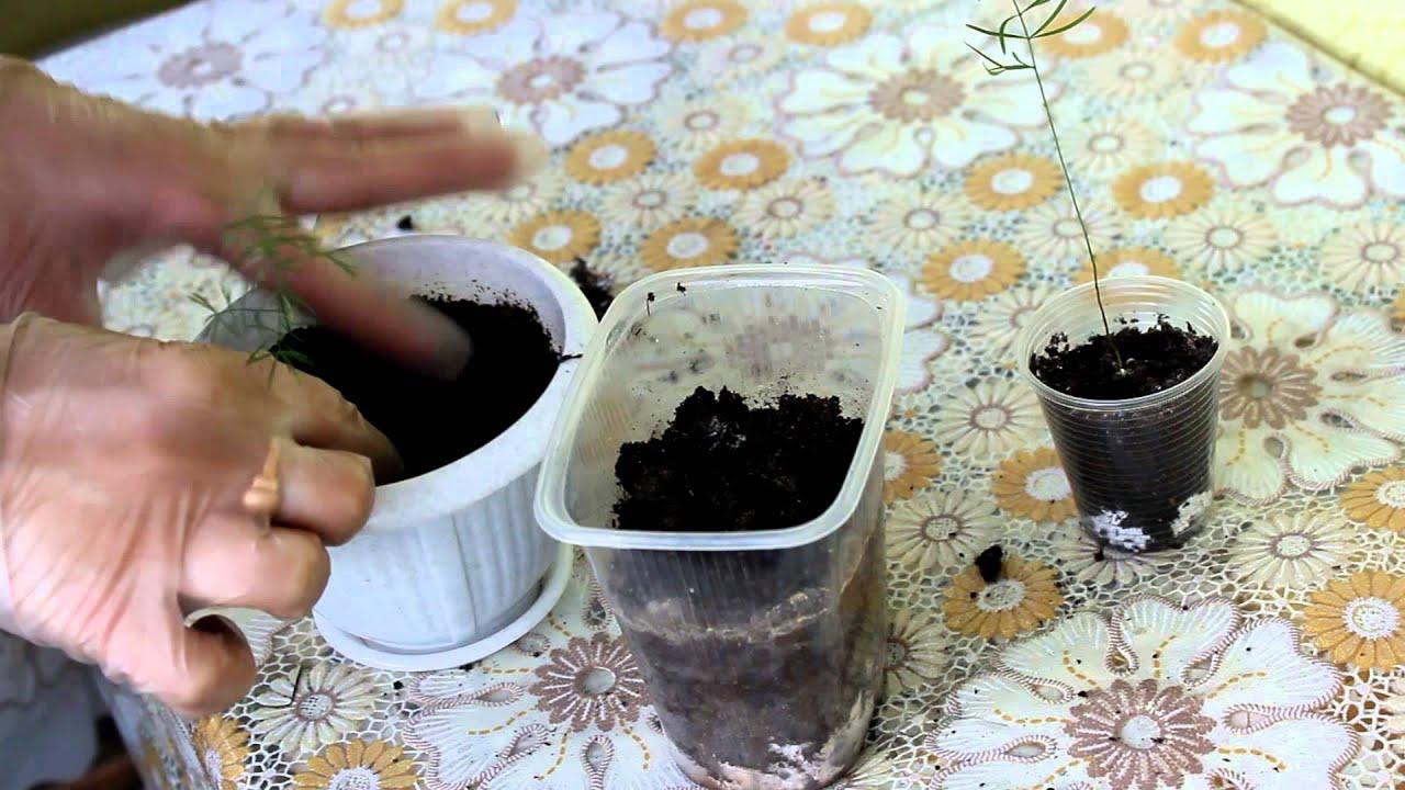 Выращивание из семян аспарагуса 16