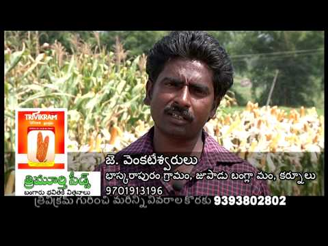 త్రిమూర్తి సీడ్స్ వారి త్రివిక్రమ్ మొక్కజొన్న Trivikram Maize from TriMurti Seeds