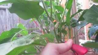 How To Prune & Hand Pollinate Eggplant