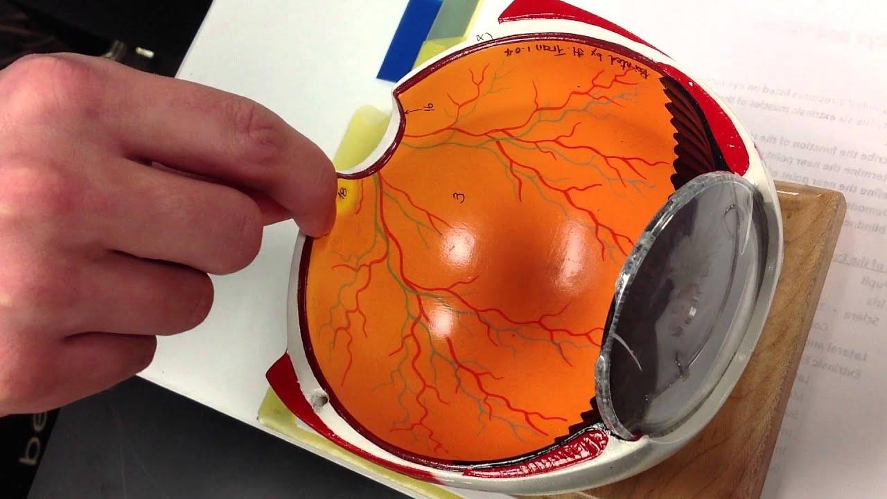 Fovea Centralis Cow Eye