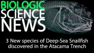 Science News - 3 New species of Deep Sea Snailfish discovered in the Atacama Trench