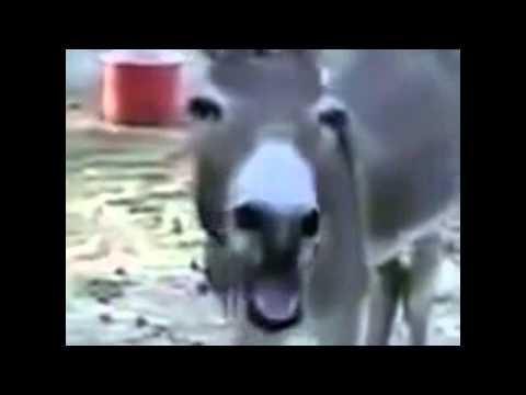 Vine Donkey Laughing Lol!!! video