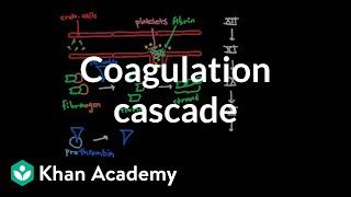 Coagulation cascade | Human anatomy and physiology | Health & Medicine | Khan Academy