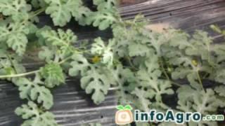 Manual del cultivo de la sandía