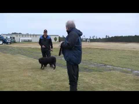 Rottweiler Schutzhund 1 Protection Phase - USA/SVF Judge Ernest Hintz