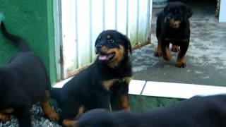 Filhotes de Rottweilers