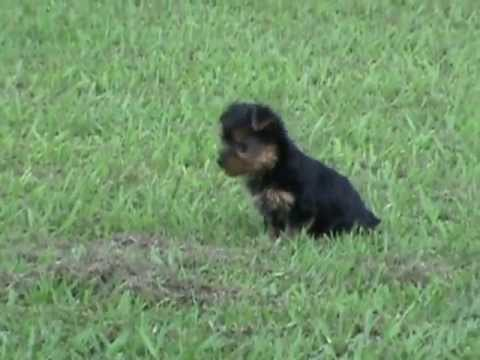 Yorkie Teacup, Yorkie Teacup Puppies, Yorkie Teacup Puppies For Sale