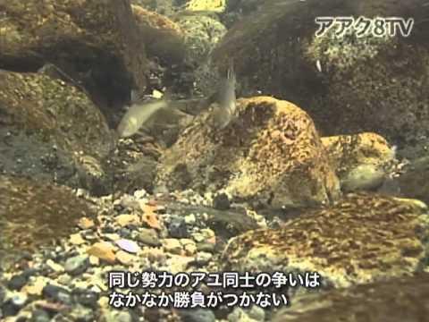 アアク8TV水中映像 ×Goovie 岐阜県の魚類15 アユの友釣り