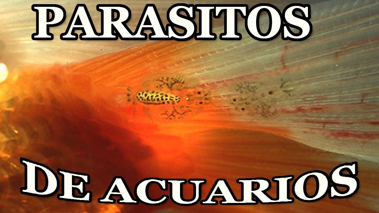 Evitar par sitos de acuarios y qu peces meter youtube for Red para peces de acuario