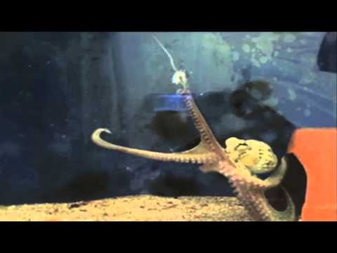 Octopuses Know Their Own Amputated Arms | Video