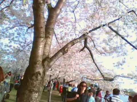 CtzenOfThePlanet Episode 14 Cherry Blossom Festival
