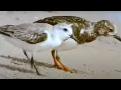 Birds flock to the shores of the Sahara desert - BBC wildlife Video