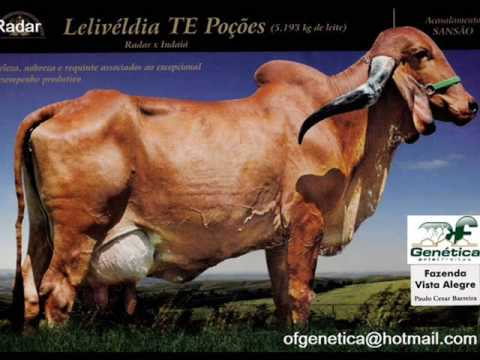 Gir raçadores da raça Radar Emulo Panamá / Gyr lechero Ganadero Bull