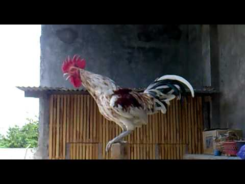 Ayam Ketawa Slow Juara 1 Nasional video