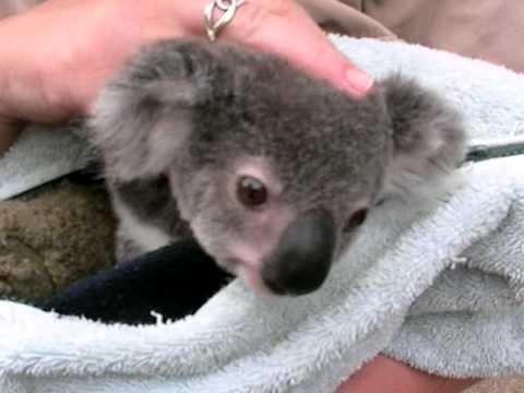 Koala baby cute joey 2 youtube - Pictures of koalas and baby koalas ...