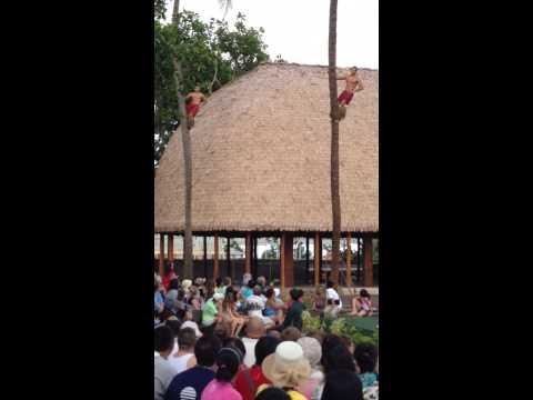 PCC island of Samoa climbing coconut tree