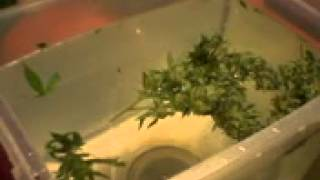 Green Thumb Girls; Wash Your Weed - Good For PM & More