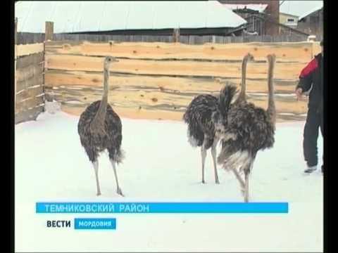 В селе Аксёл Темниковского района разводят страусов