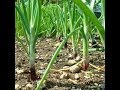 HOW TO GROW GREEN ONIONS FROM SEEDS.