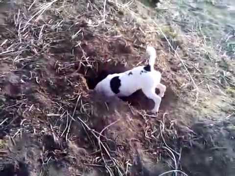 jack-russel-a-la-chasse-aux-lapins.html