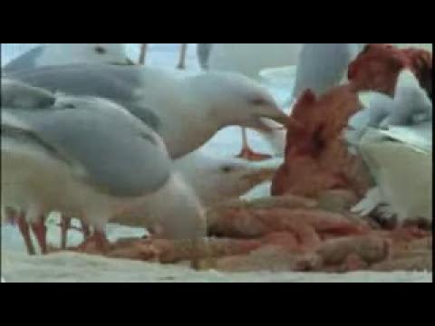 Oso polar a la caza de ballenas beluga