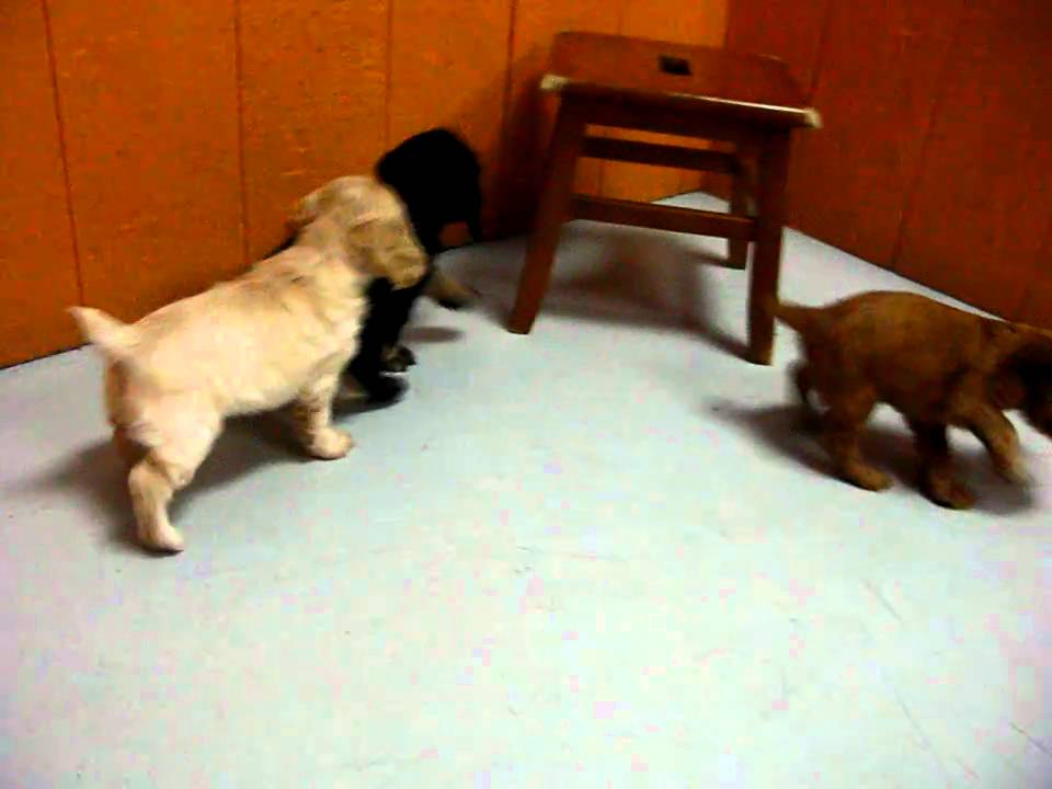 cocker  spaniel puppies  for  sale  in  los angeles  california  ca  visalia  thousand oaks