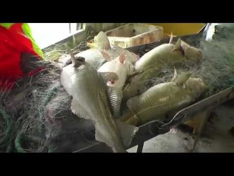 Cod fishing in Iceland 2012- Net fishing