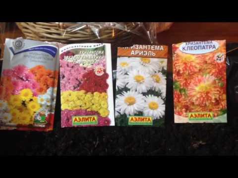 Хризантема индийская клеопатра выращивание из семян 89