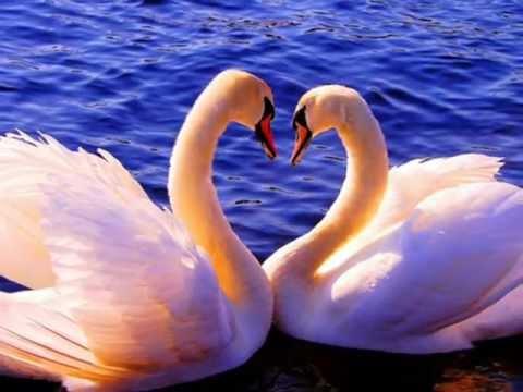 Два белых лебедя.