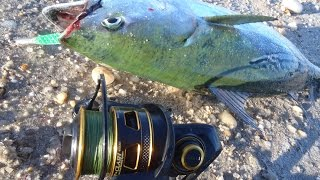 False Albacore Fishing and Penn Clash Reel Review