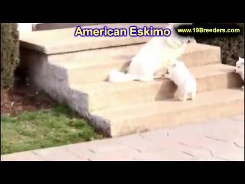 American Eskimo, Puppies, For, Sale, in, Birmingham, Alabama, AL, Montgomery, Tuscaloosa, Jefferson,