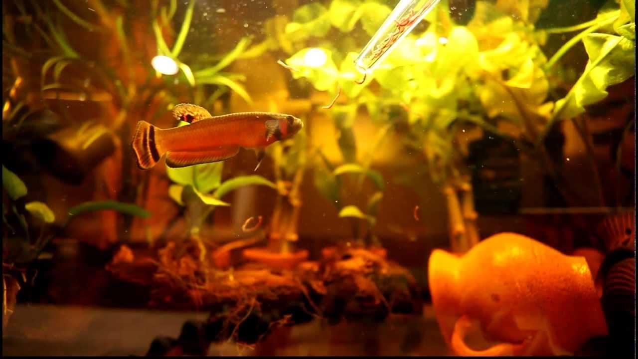 Wild Betta For Sale The Best Wild Betta Fish Ever