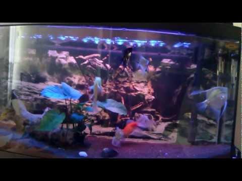 Japon balığı melek akvaryum