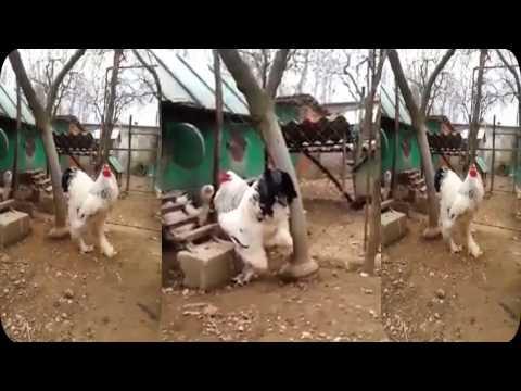 Heboh Ayam Raksasa