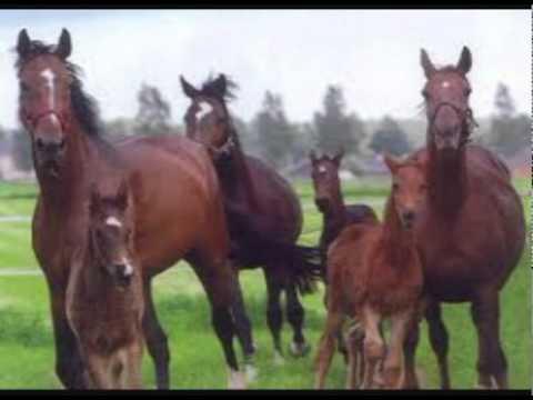 friezen paarden