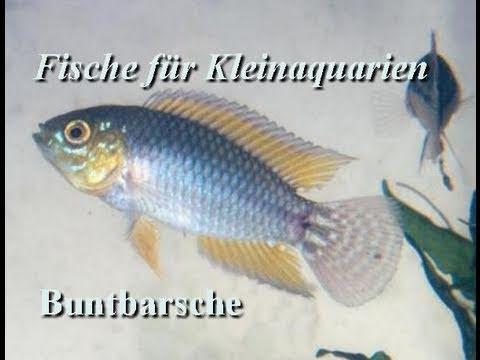 Fische f r kleinaquarien nano aquarien 2 teil for Fische halten