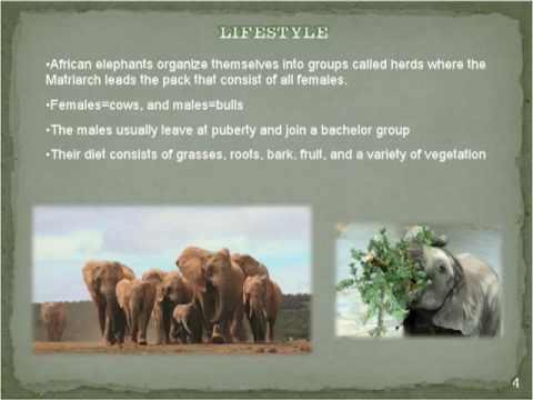 The Endangered African Elephant and It's Unique Adaptations