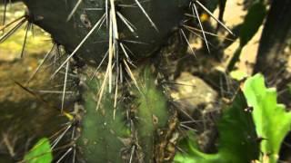 #5571, Peligrosas puas de un cactus [Raw], Plantas, árboles y arbustos