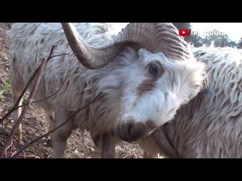 Himalayan Ram Rumble
